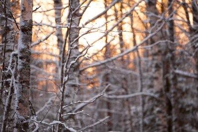 Vinilo лес Берёзовый