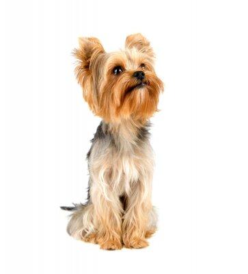 Vinilo Yorkshire Terrier