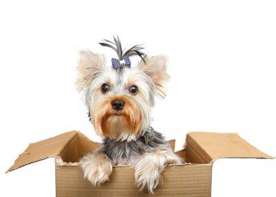 Vinilo Yorkshire Terrier in cardboard box