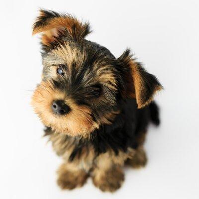Vinilo Yorkshire terrier - portrait of a cute puppy