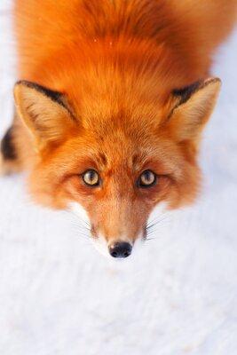 Vinilo zorro rojo