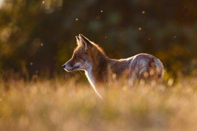 Vinilo zorro rojo en la hermosa luz